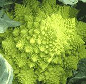 Organic Vegetable Seeds Online - Broccoli- plant seedlings- march