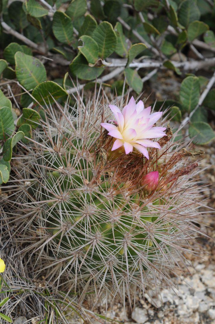 22 mejores im genes sobre plantas zona costera en for Semillas de cactus chile