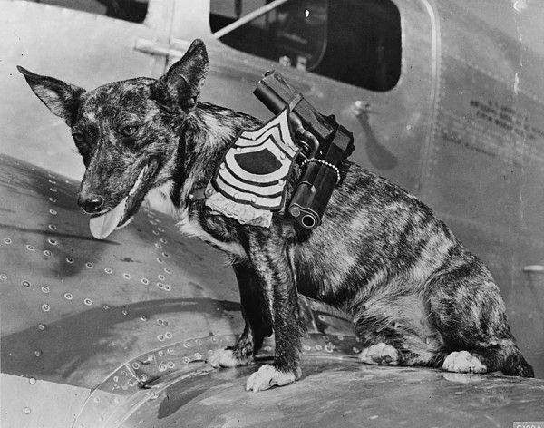World War II, Poochy, wearing the insignia of a Master sergeant at the Army Flying school, Lubbock, Texas, 1942.