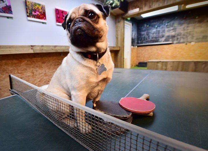 Le Uno's Bar rue Gambetta à Lille. C'est un bar à thèmes: pétanque  et tennis de table. Et toutou craquant. Photo Stéphane Mortagne #leregardduphotographe #lavoixdunord #lille #dogs