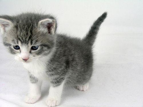 kitten, grey and white kitten ♥♥♥ re pinned by www.huttonandhutton.co.uk