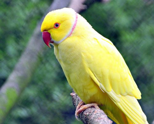 Are not asian ring necked parrott