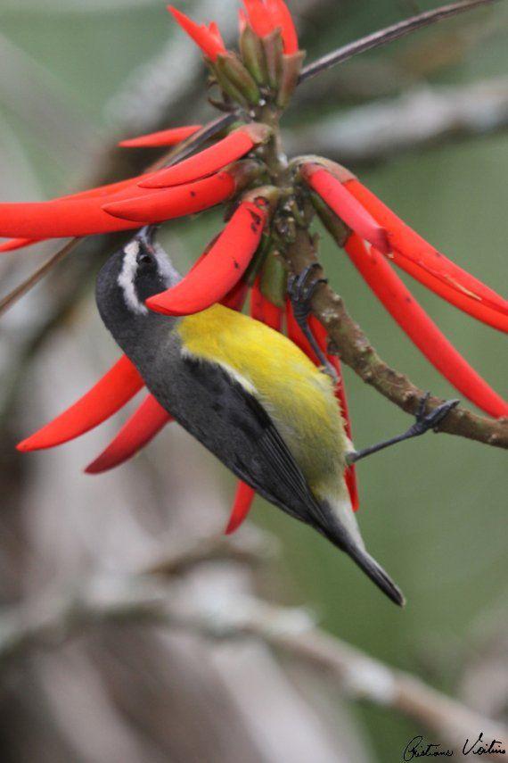 Aves Catarinenses - CAMBACICA