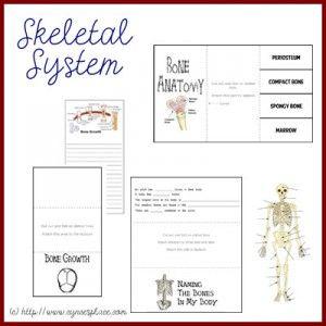 Anatomy Lapbook - Skeletal System