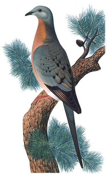 Hayashi and Toda, Passenger Pigeon, (Ectopistes migratorius), From: Orthogenetic Evolution in the Pigeons, 1920