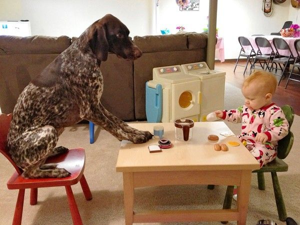German Short Haired Pointer at a tea party This will be our dog and child one day! :-)