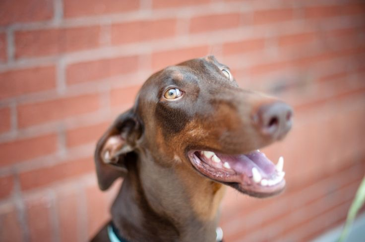 Thank you for adopting Windy....she is beautiful. Atlanta Doberman Rescue