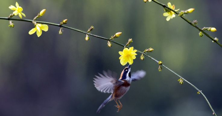 Pássaro voa perto de flor em um ramo de árvore na cidade de Wuxi, na província de Jiangsu, na China