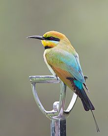 Rainbow Bee-eater - Wikipedia, the free encyclopedia