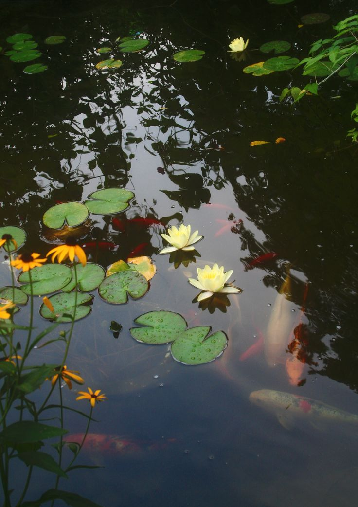 95 best pond images on pinterest ponds lily pond and for Koi fish pond lotus