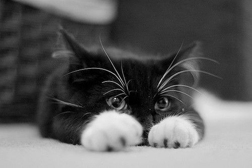 Cat peaking over paws.