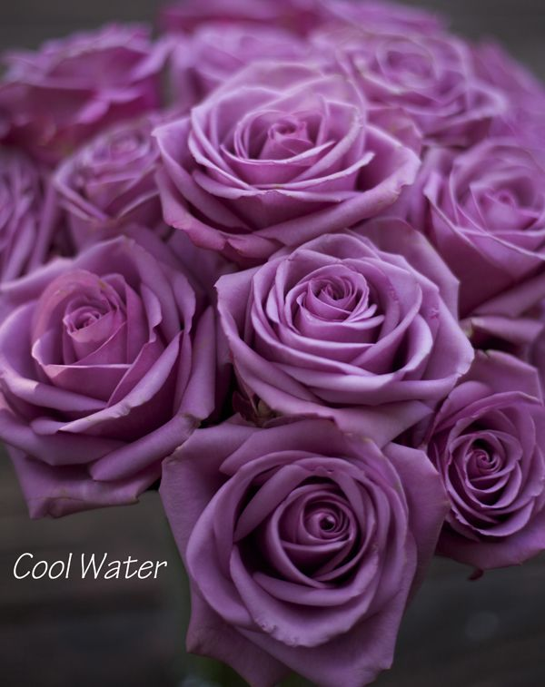 Cool Water Rose, a bright lavender rose by http://www.harvestwholesale.com