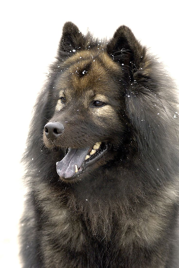 Eurasier dog: a keeshond/samoyed/chow crossbreed.  Beautiful and a lovely temperament.