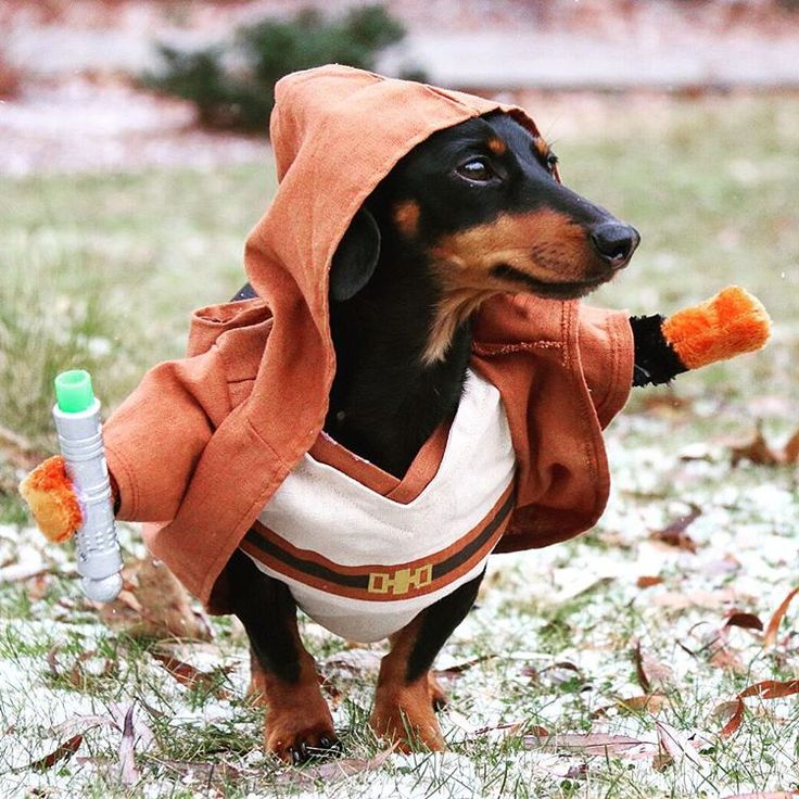 Star Wars Dachshund
