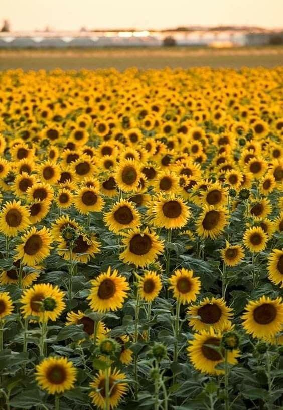 Pin by Amanda B. on Sunflower City in 2020 | Sunflower ...