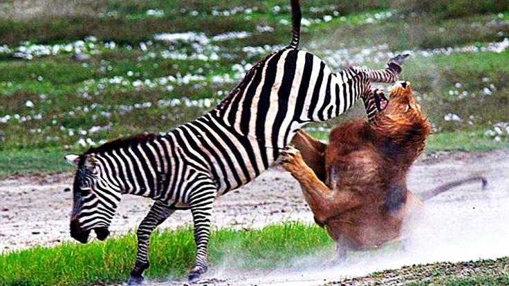 Бои диких животных 2016 - крокодил против зебры, буйвол убивает льва - н...