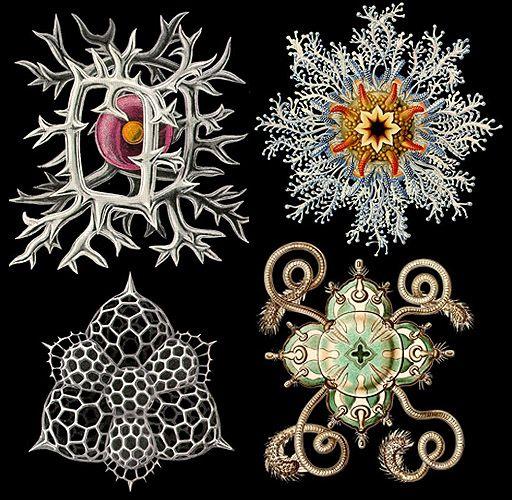 E. Haeckel scientific illustration