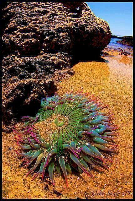 Anemonas do mar