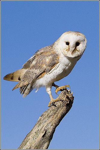 Barn Owl par Earl Reinink
