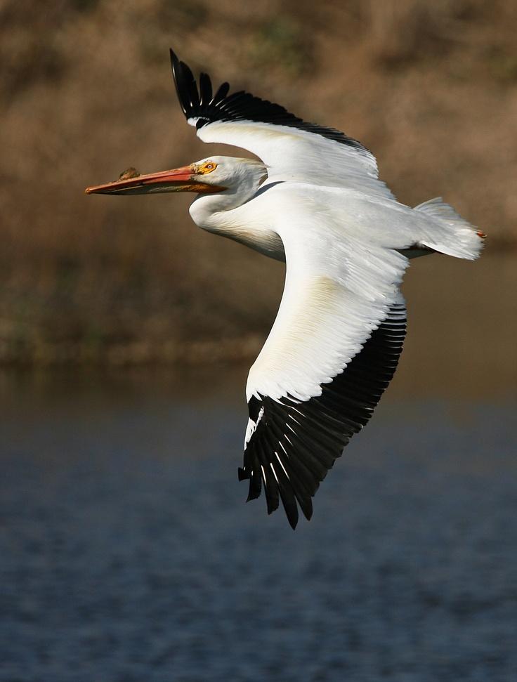 American White Pelican - Boulder, Colorado  ©Wendy Marie Stuart.  Wild Bird Center of Boulder, CO