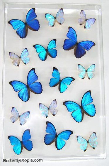 Blue Pearls Supreme