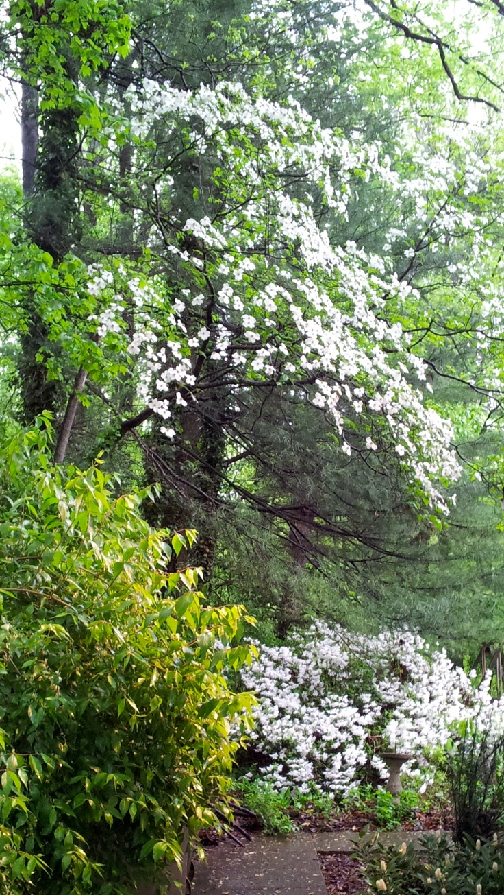 34 best spring has sprung images on pinterest north carolina wild white dogwood tree over white azaleas love the wild dogwood with white azaleas this is perfect for in a white garden dhlflorist Image collections