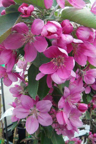 Malus Maypole Garteninspiration Garden Und Plants