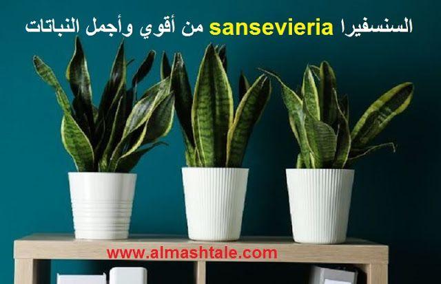 نبات السنسفيرا Sansevieria من أقوي وأجمل النباتات العصارية التي تصلح داخليا وخارجيا Sansevieria Plants Growing