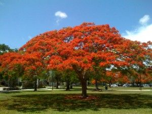 Find This Pin And More On Royal Poinciana Trees