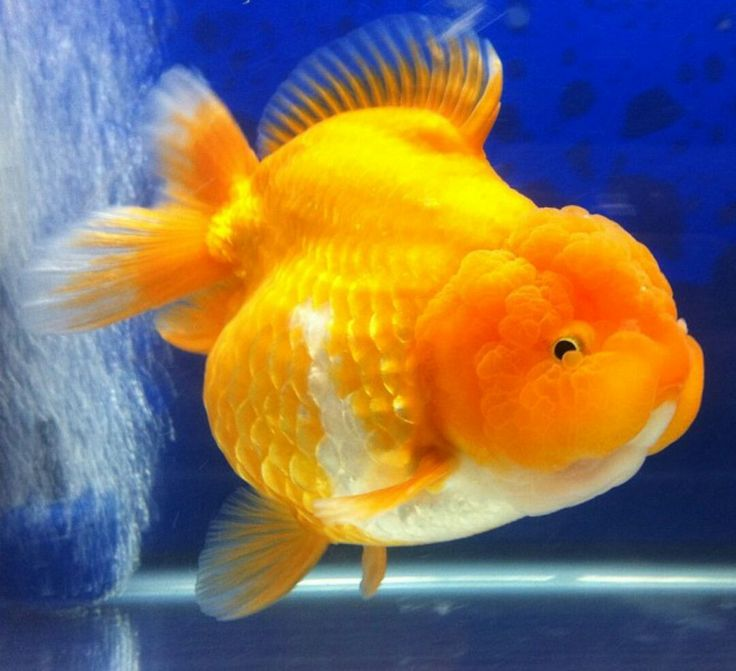 17 best images about goldfish on pinterest goldfish for Can tropical fish live with goldfish