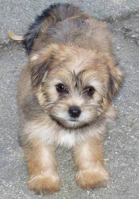 Yorkie+Maltese+Mix | Allie Bear the Yorkie/Maltese Mix | Puppies | Daily Puppy