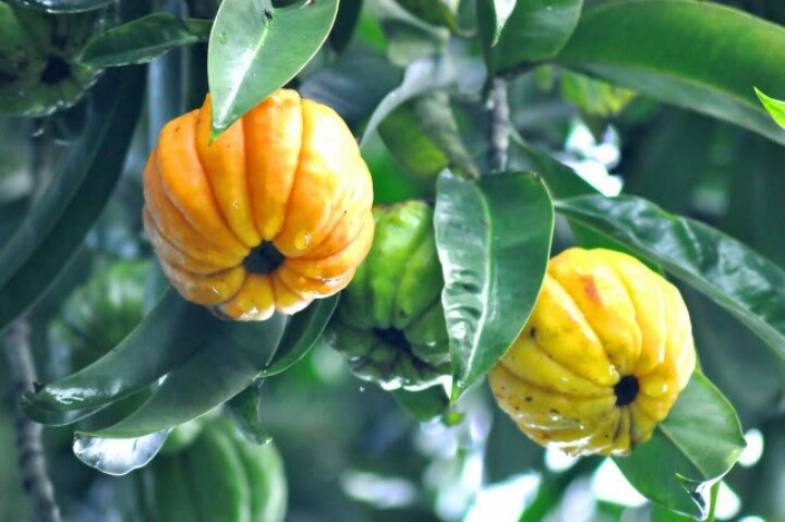 Asam Gelugor Is A Tropical Rainforest Tree Native To The