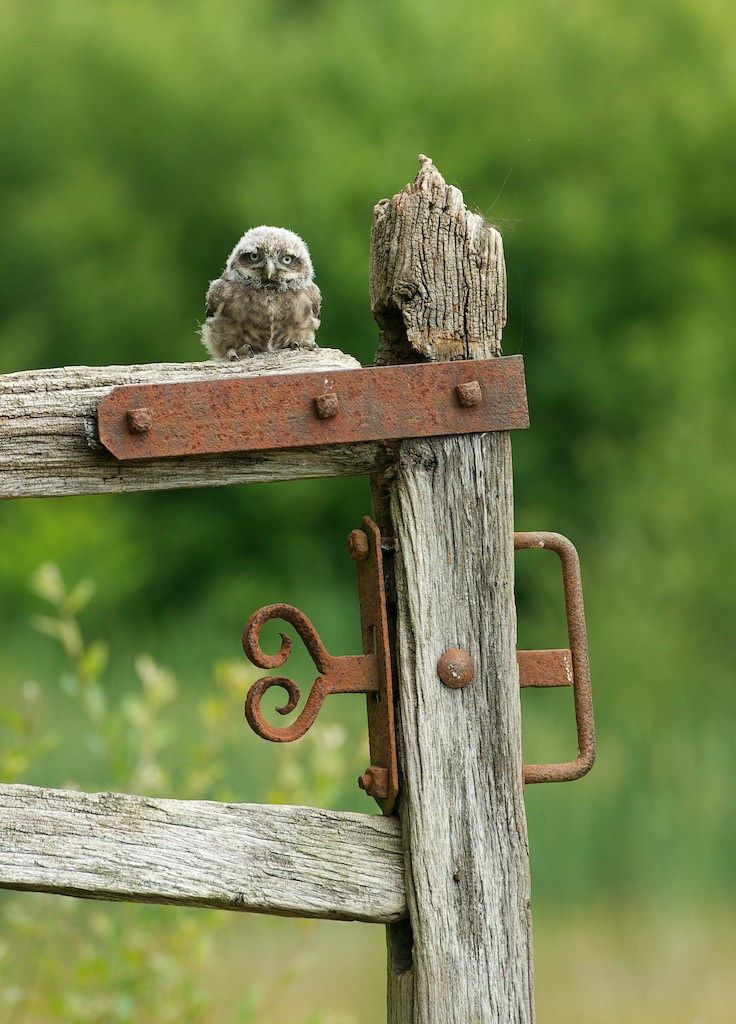 Little owl chick on gate post <3