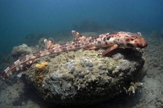 New 'walking shark' species discovered in Indonesia