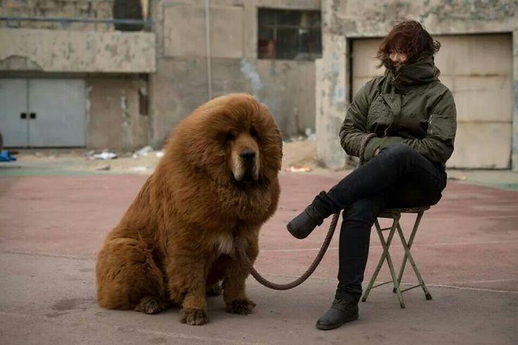 Adorkable!!!!! Siberian Mastiff