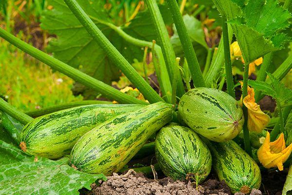 Veja as dicas de como plantar abobrinha em casa, além de uma receita de…