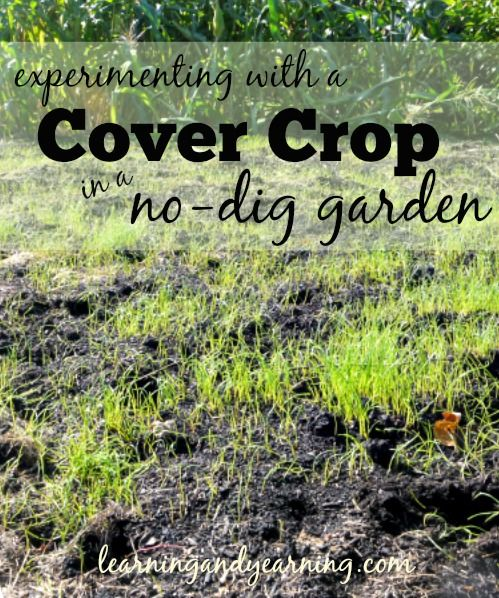 In a garden, building healthy soil is vital. It's recommended that cover crops be dug into the soil, but I'm experimenting with using them in a no-dig garden.
