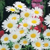 #Marguerite : une classique du #jardin.
