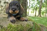Willow Springs Dachshunds, breeder of miniature and standard wirehaired dachshunds from quality european champion lines.