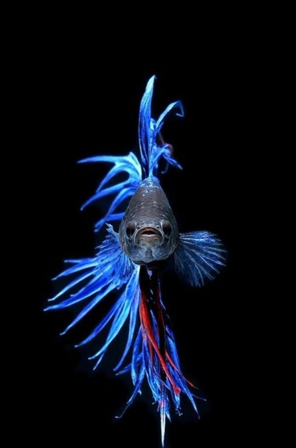 Royal blue crowntail betta beautiful my future pets for Blue betta fish