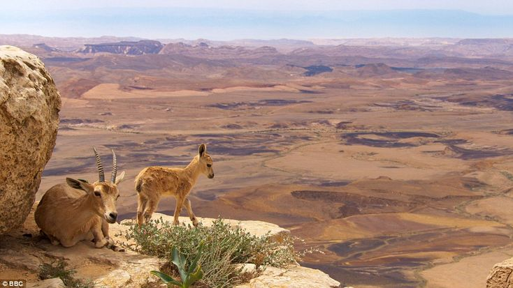 Lookout point: Nubian ibex, a desert-dwelling goat species, live in some of the most inaccesible mountain habitat in the world