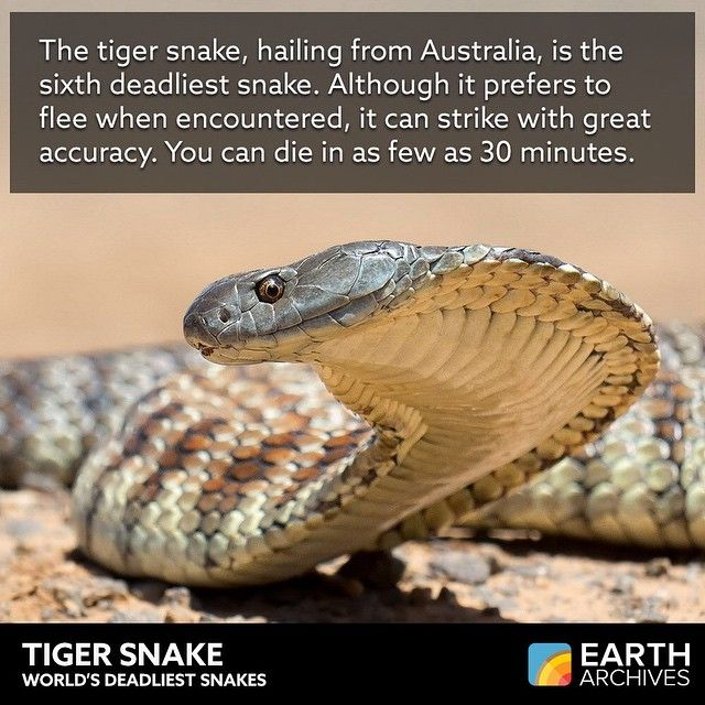 Tiger snake females are viviparous, meaning they give birth to live young and don't lay eggs. You know how many babies can be born in one litter? More than 30! #deadliestsnakes #snakes #venom #fangs #tigersnake #reptiles #animals #nature #science #eartharchives