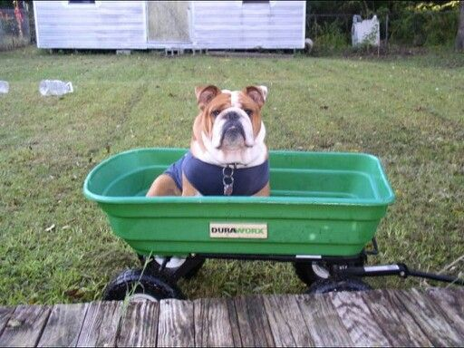 17 best images about bulldogs of mine on pinterest laughing the grass and babies. Black Bedroom Furniture Sets. Home Design Ideas