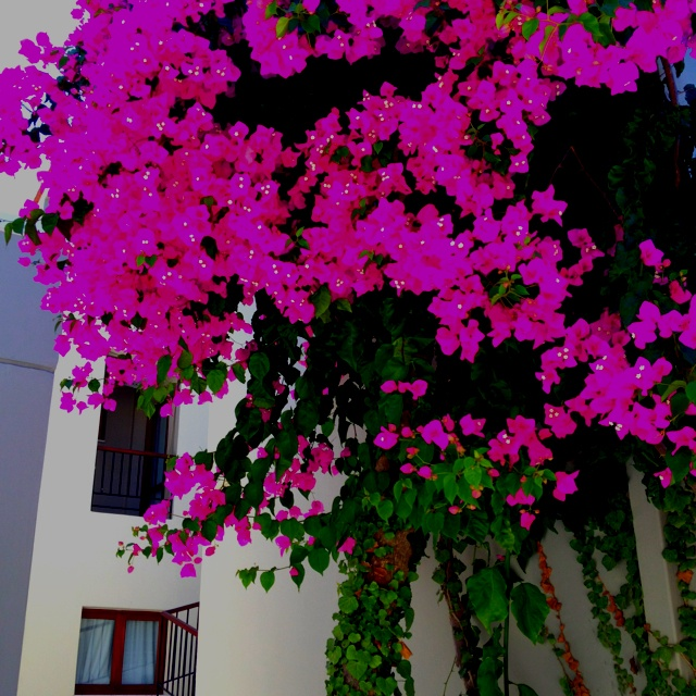 Amazing color, could not be captured 100%, the flowers were really glowing! Platanias, Crete, Greece 2012