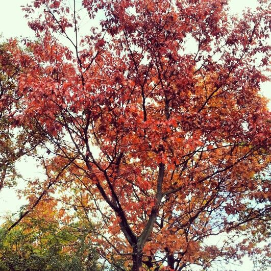 Autum tree #tree #green #red #autum #fire #nature #creation #denmark #pattern
