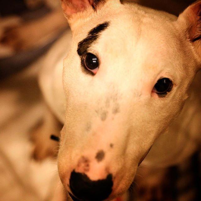 上目遣いでおねだり。 これはオヤツあげちゃうやつ  #ミニチュアブルテリア #愛犬 #いぬ部 #おねだり上手