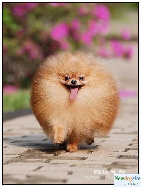 Pomeranian on the run