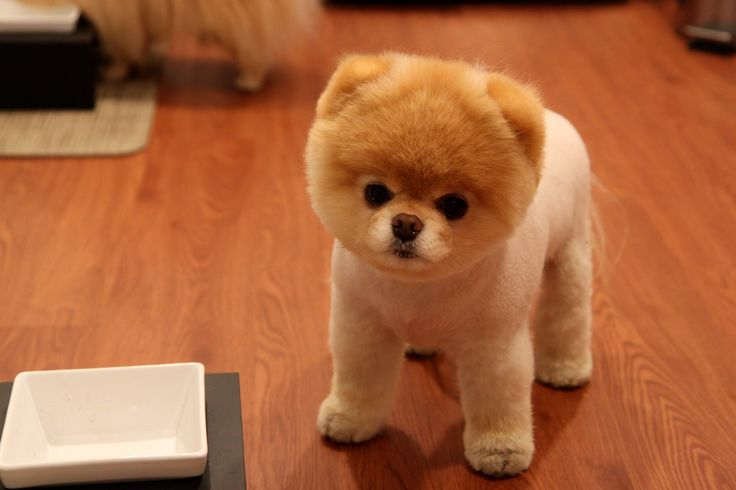 Boo sokak szerint a világ legcukibb kutyája  De mitől függ a cukiság? Katt a tudományos magyarázatért ;)  #kutya #cuki #boo #kutyabaráthelyek #dog #cute
