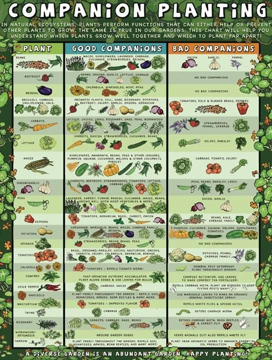 Companion Planting Guide Gardening Pinterest