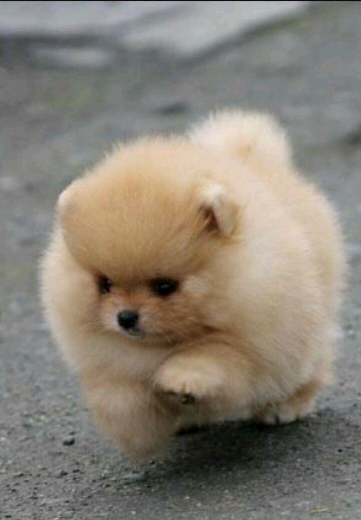 The Cutest Pomeranian puppy 💞 Cute baby animals, Cute
